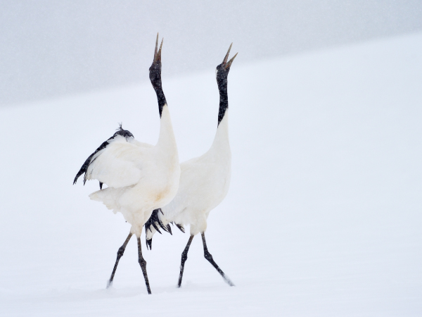 Hokkaido Red Crowned Crane Snow Skiing Luxury Travel Japan Regency Group