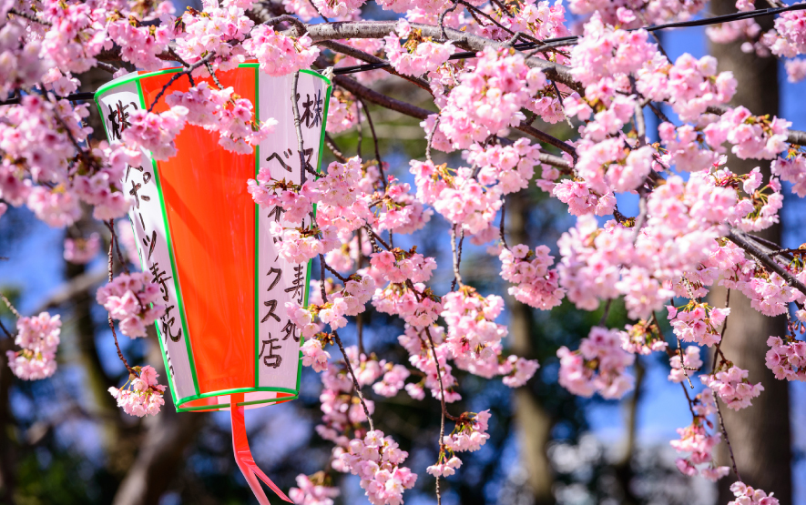 cherry blossom luxury travel japan regency group