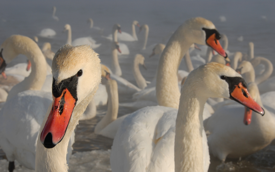 Hokkaido Bird Watching Swan Luxury Travel Japan Regency Group