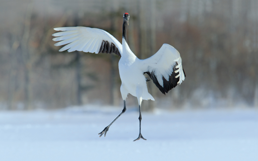Hokkaido Crane Bird Watching Luxury Travel Japan Regency Group2